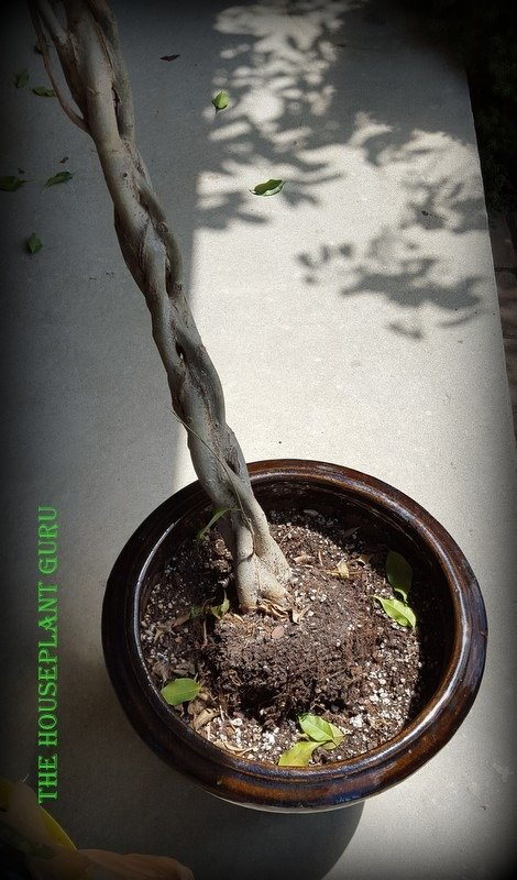 The ficus wasn't well rooted and has lost a lot of soil