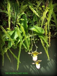 Slipper orchid hanging down
