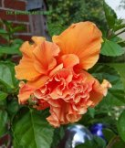 Double tropical hibiscus