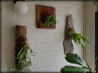 Three ferns hanging up