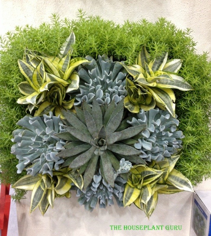 Sansevierias used in a living wall