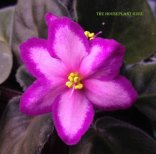 'Kev's Heavenly Star' African violet