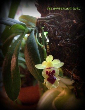Haraella odorata orchid