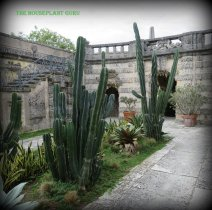 Huge cactus