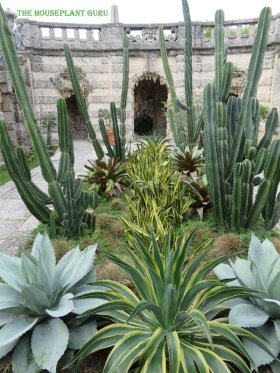 Agaves and cactus