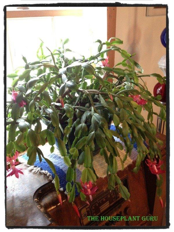 My Aunt's Christmas cactus.