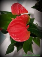 Anthurium ' Sweet Dreams'