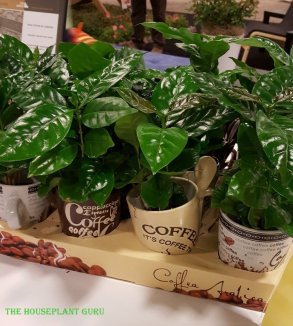 Coffee arabica plants in coffee cups