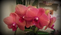 florida orchids 059