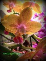 gardenia 130