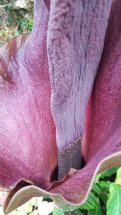 The female flowers are at the bottom of the spadix