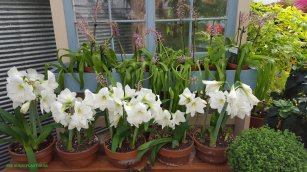 Lovely white amaryllis