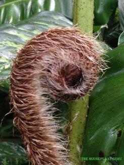 Australian tree fern frond Alsophila australis