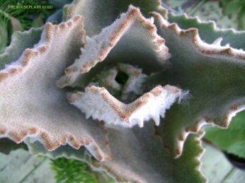 Kalanchoe baharensis