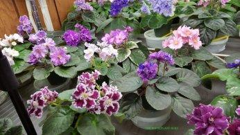 Shelf of violets