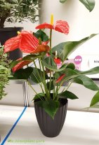 Anthurium 'Michigan'