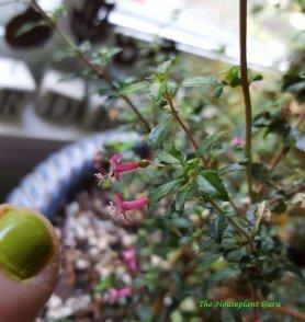 Fuschsia 'Lottie Hobby' with my fingernail. Very small flowers