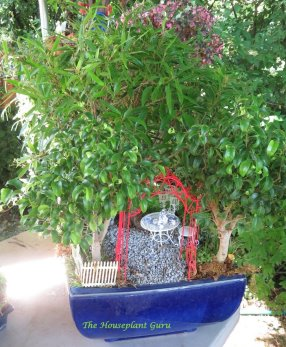 Miniature Ficus (fig) trees incorporated into a mini garden