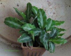 Calathea micans 'Meeham's Miniature'