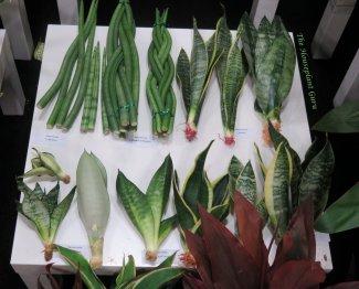 Sansevieria cuttings