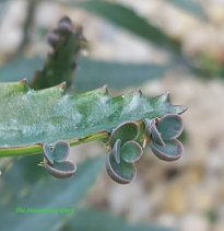 Plantlets on the MOther of Thousands (Kalanchoe daigremontiana)