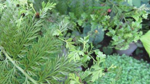 Small Plantlets on the frond Mother Fern (Asplenium bulbiferum)