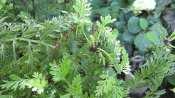 Tiny mini ferns on the Asplenium bulbiferum or Mother Fern