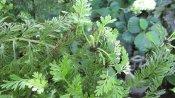 Tiny mini ferns on the Asplenium bulbiferum or Mother Fern