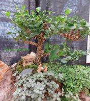 Natal Plum (Carissa macrocarpa) bonsai
