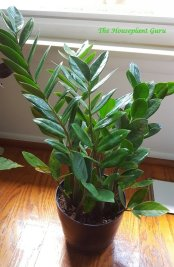 ZZ plant or Zamioculcas zamiifolia