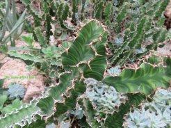Euphorbia psuedocactus -A succulent