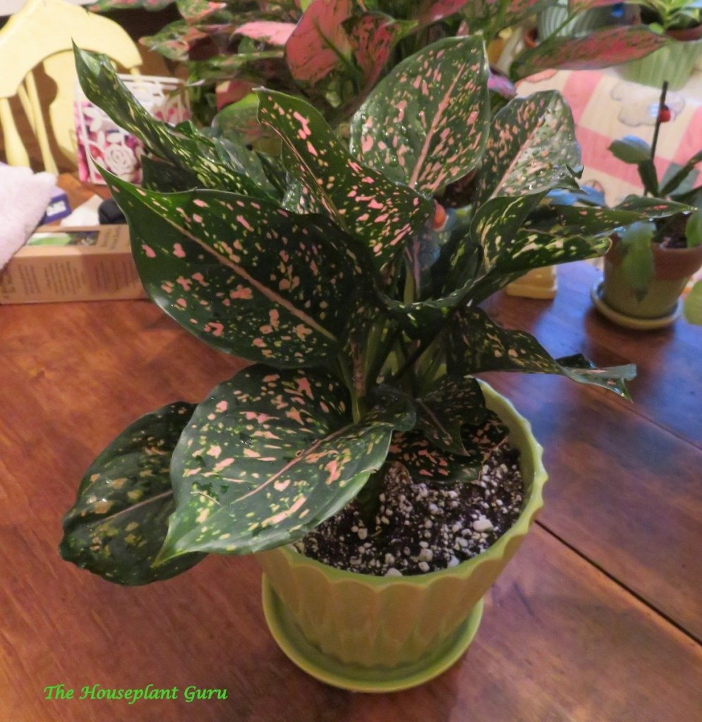 The newly repotted 'Pink Dalmation ' aglaonema
