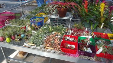Tillandsias at the sale 2015