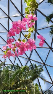 Bougainvillea in the conservatory