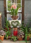 Topiary and amaryllis