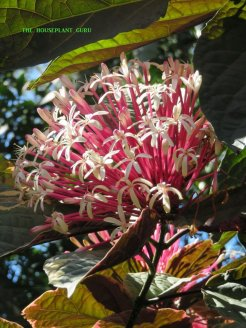 Clerodendrum quadriloculare at Marie Selby