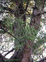 Mistletoe in a tree in Florida