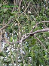 Translucent berries on the mistletoe