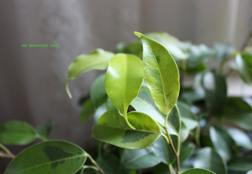 Ficus 'Neon Marguerite'