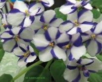 African violet 'Erin'