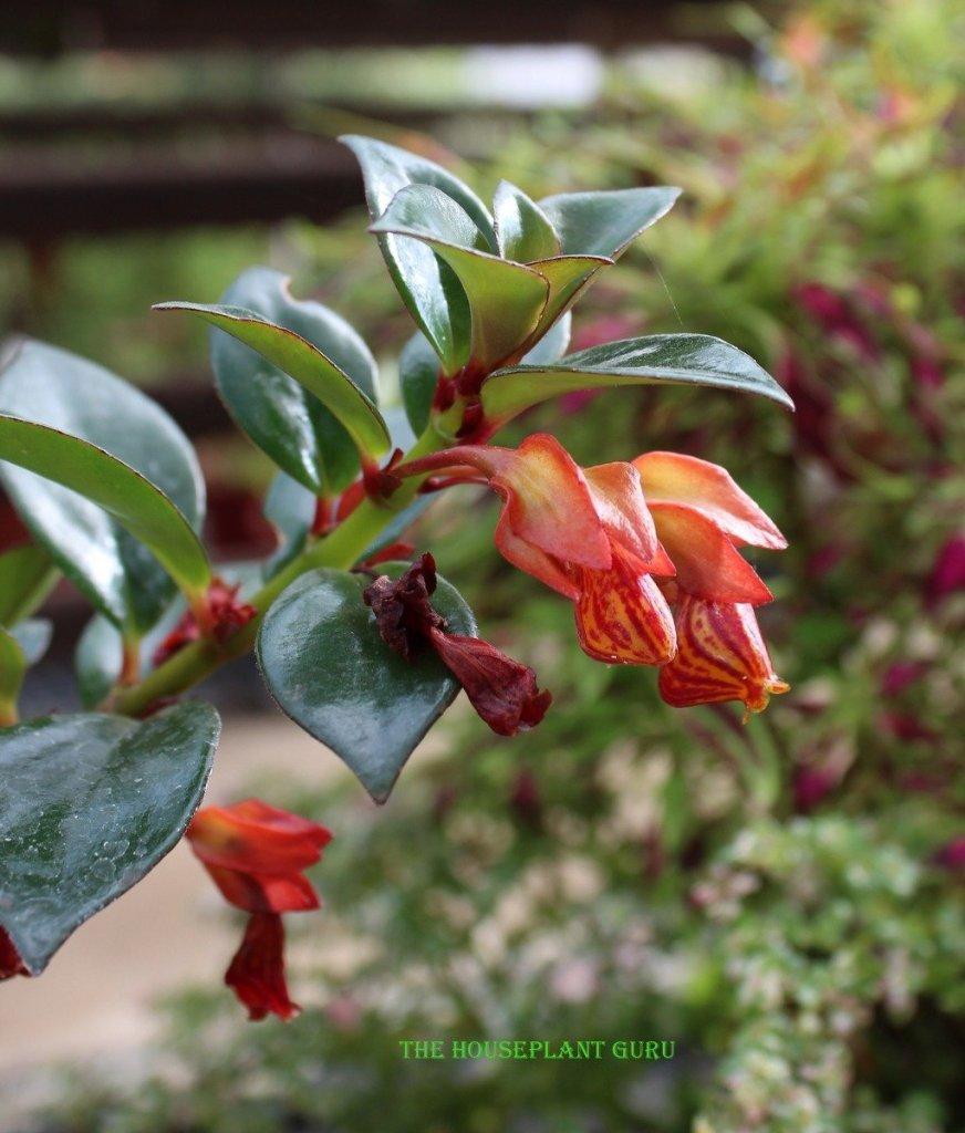 'Tropicana' Goldfish plant Nematanthus