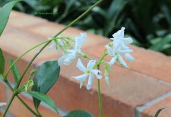 Confederate Jasmine Trachelospermum jaminoides