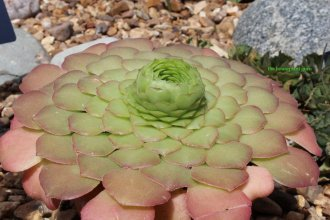 Aeonium of some sort