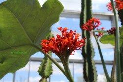 Australian bottle plant Jatropha podagrica