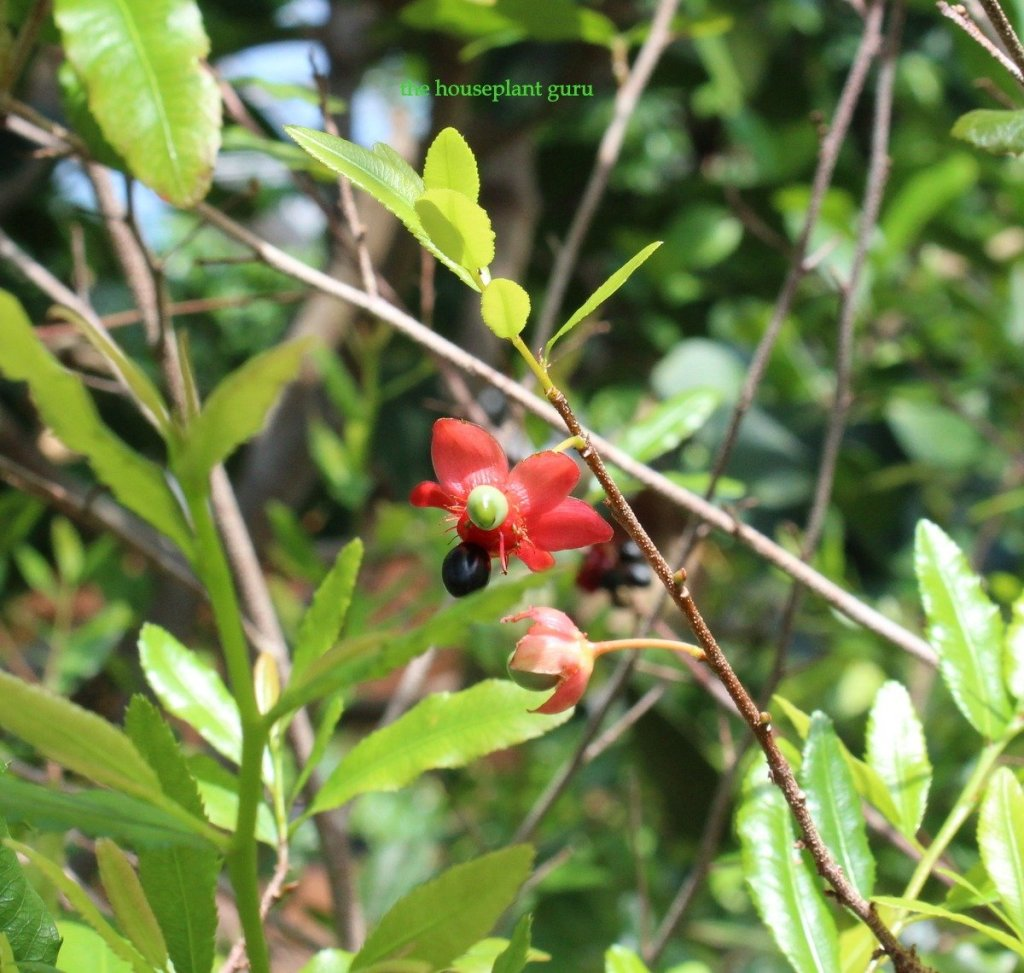 Carnival ochna- Ochna multiflora