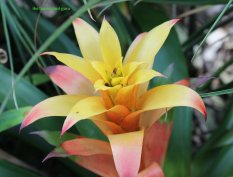 Guzmania flower
