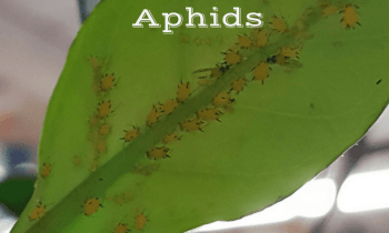 Insect Invasion! Part 1: Aphids