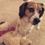 astriker79_-_December_25__2014_at_1142AM_-_The_pup_trying_to_exhibit_her_brute_force_by_holding_her_doggy_down___jasmine__mansbestfriend__beagles__lovedogs