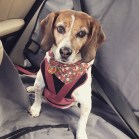 astriker79_-_December_31__2014_at_0744PM_-_First_time_being_boarded_since_2008_in_Chicago_.__mansbestfriend__beagles__jasmine