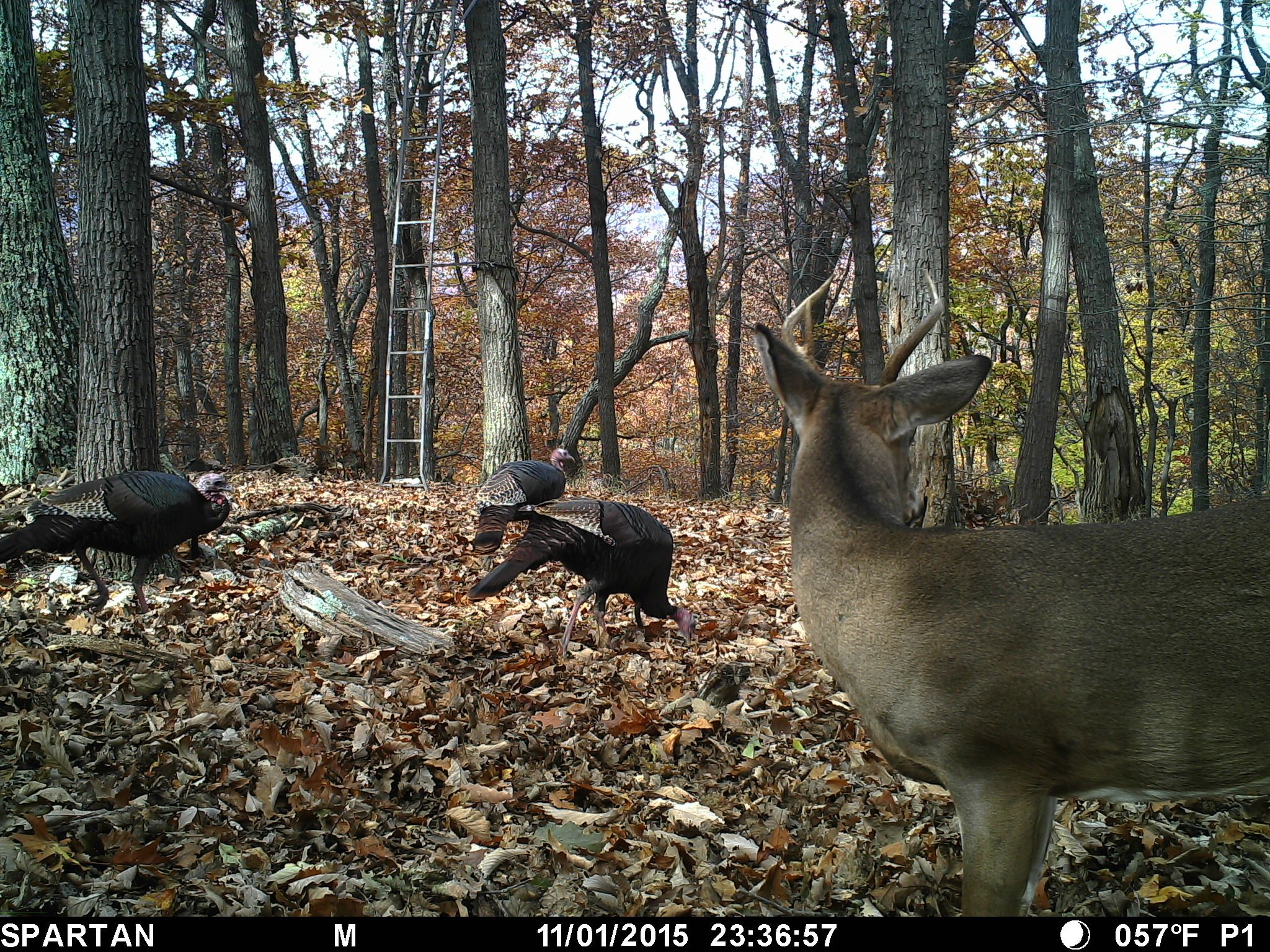 Early Fall Wallpaper Will Wild Turkey Scare Deer The Pictures Don T Lie The